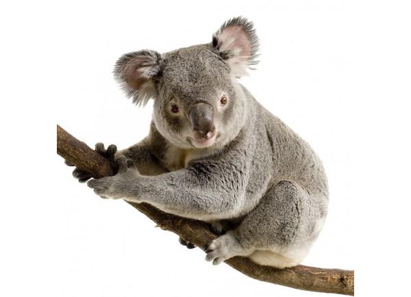 stickers koala